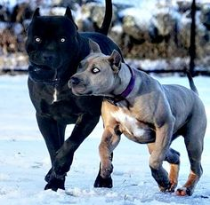 Big Dogs, Cute Dogs, Pitbull Photos, Bully Breed, Big Dog Breeds, Crazy Animals, It's Wonderful, English Bull Terriers, Boxer Dogs