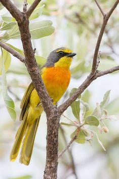 Exotic birds : Orange-breasted Bushshrike (Telophorus sulfureopectus) Africa