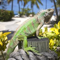 palmislandresort Palm Island, Grenadines Celebrate World #Wildlife Day! Aside from 2,000+ coconut trees, Palm Island is home to beautiful flowing plants, exotic birds and ubiquitous #iguanas, most famous of which is George, who lives in a tree near the Royal Palm Restaurant and loves posting for pics. #nofilter #wwf #nature #SVG
