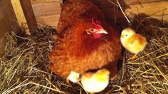 mali pilici prvo jutro nakon preseljenja, kvockom u drvenom sanduku Chicken Life