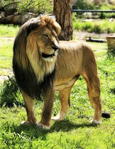 mighty lion 2