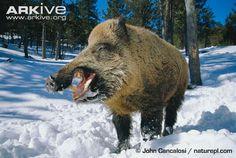 Wild boar photo - Sus scrofa - G80932 | ARKive