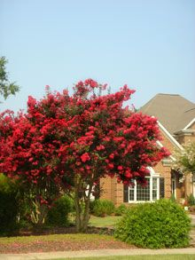 Dynamite Crape Myrtle Tree / Size: 20-30' tall, 10-20' wide / Blooms: Spring - Fall / Water: good drought resistance / Price: $50 - 80 (plant zone 7)