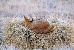 Red fox sleeping...... Fox Spirit, Spirit Animal, Animals And Pets, Cute Animals, Fox Collection, Wolf, Fantastic Fox, Mr Fox, Animal Help
