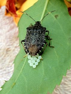 stink bug lays eggs on the rose reaf Stink Bugs, Insect Photography, A Bug's Life, Reptiles, Rid, Creepy, Insects, Eggs, Gardening
