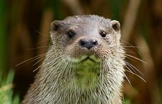 Seen at the British Wildlife Centre. Otter Creek, River Otter, Sea Otter, Fur Trade, British Wildlife, Scientific American, Lily Pond, Otters, Country Life