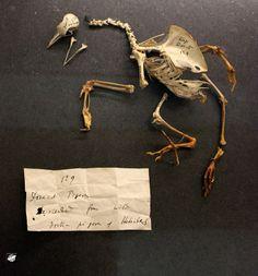 Charles Darwin galambja - Charles Darwin's pigeon
