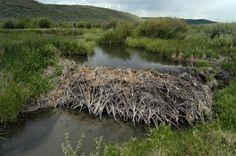 A beaver dam in Wyoming.