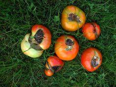 Фитофтора – основная причина гниения плодов томатов открытого грунта