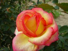Jean PIAT (NIRP Internationnal-2003)      Grande fleur jaune lumineux ourlé de carmin. Le bouton s'ouvre très lentement  et laisse apparaitre une très grande fleur au coloris éclatant.