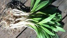Как вырастить черемшу в домашних условиях Bulb Flowers, Cabbage, Vegetables, Garden, Plants, Roses, Gardens, Recipes, Pink