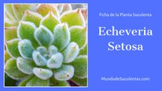 Echeveria Setosa - Fichas de Plantas Suculentas Air Plants, Cactus Plants, Purple Plants, Cactus Art, Cactus Y Suculentas, Succulents, Flowers, Patio, Gardens