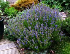 Tips For Growing Hyssop Plant In Your Garden - Hyssop is an attractive flowering herb commonly grown for its flavorful leaves. Growing a hyssop plant is easy and makes a lovely addition to the garden. Find out how to grow hyssop plants in this article.