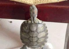Tortoises Pull-up