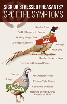 MacFarlane Pheasants is proud of our humane treatment of birds and our strict biosecurity practices. It is important to recognize the signs of sicknes Raising Pheasants, Raising Quail, Raising Ducks, Raising Chickens, Pheasant Farm, Pheasant Hunting, Coyote Hunting, Archery Hunting, Pheasant Mounts