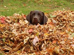 Zoey is sure enjoying the leaves! #dogpictures #dogs #aww #cuteanimals #dogsoftwitter #dog #cute