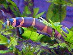 The Kuhli Loach - (Ancanthophthalmus Kuhlii) The Kuhli loach, also commonly known as Coolie loach, comes from the Tropical waters of Indonesia, Malaysia, Java and surrounding areas. The Kuhli Loach is eel shaped. Its body colorings are a kind of salmon-pink/yellow with dark brown to black stripes that half circles the body. The stomach is a sort of a whitish colour. The eyes on the Kuhli Loach are set in one of the stripes and therefore not easily seen.