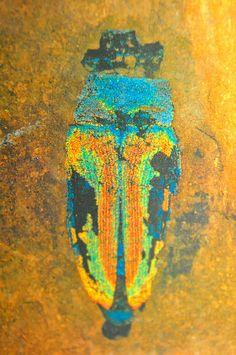 Fossil borer--Prachtkäfer aus Unesco-Welt-Natur-Erbe- Grube- Messel._DSC_0820 Strukturfarben der Flügeldecken.