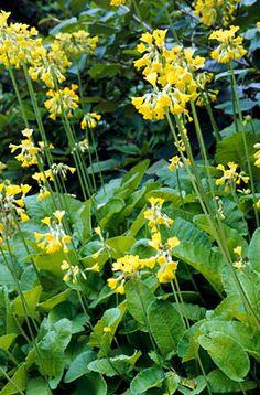 PRIMULA florindae - Kæmpeprimula, farve: gul/duftende, lysforhold: halvskygge, højde: 80 cm, blomstring: juni - august, trives bedst i surbundsbed, tåler fugtig jord..