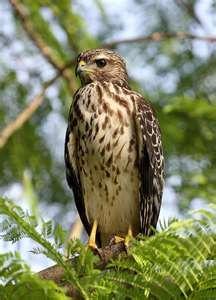 Hawk ♥