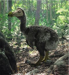 The Dodo (Raphus cucullatus) is an extinct flightless bird that was endemic to the island of Mauritius, east of Madagascar in the Indian Ocean. Extinct  (about 1662)
