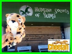 Visiting Humane Society of Yuma Cheetah  Follow along as the Purring Cheetahs travel the world and add photos of your own Cheetah adventures to join the fun!   www.facebook.com/chewbaakascheetahfriends   #chewbaakascheetahfriends