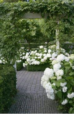 'Annabelle' hydrangea supported by boxwood hedges