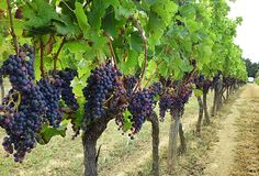 Visit Bordeaux, Bordeaux Wine, Aquitaine, Bordeaux Vineyards, Alcohol Facts, Vine And Branches, Wine Press, French Wine, French Countryside