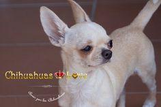 Chihuahuas Love - Chihuahuas Madrid. Opiniones Clientes Chihuahuas Love. Marta y Pelayo.