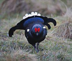 Black Grouse Cock walking towards me