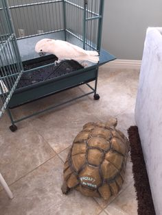 The Mollucan Cockatoo & the Sulcata tortoise (Hula & Kingsley)