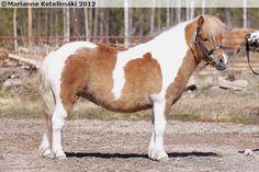 Shetland Pony - mare Knuuttilan Lotta