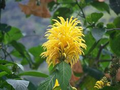 Yellow plume flower