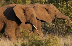 A pair of elephants walk through scrub in the dusk light in Pilanesberg National Park in South Africas North West Province April REUTERS/Mike Hutchings; article - Poachers kill dozens of elephants, including calves, in Chad; makes me angry:/ Elephant Walk, Elephant Love, University Of The Witwatersrand, North West Province, Okapi, Big Animals, Save The Elephants, Congo, Beautiful Creatures