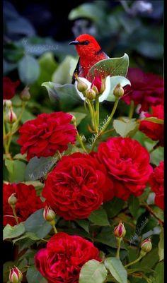Resultado de imagem para tess of the d urbervilles rose Beautiful Nature Pictures, Beautiful Flowers Wallpapers, Beautiful Nature Wallpaper, Beautiful Landscapes, Beautiful Rose Flowers, Amazing Flowers, Beautiful Birds, Beautiful Gardens, Exotic Birds
