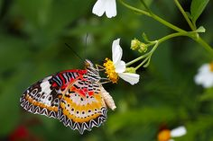 The World's Most Colorful Winged Creatures ~ Leopard Lacewing