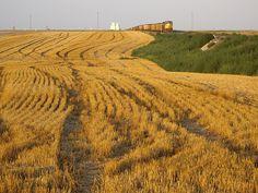 Union Pacific train passes a Kansas field of wheat stubble.
