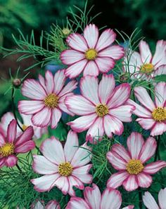 Candy Stripe Cosmos | Cosmos Candy Stripe Flower Seeds