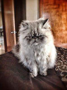 Angry cat persian cat