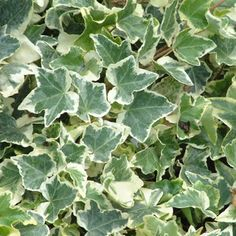 Hedera helix 'Clotted Cream' Ivy - 2.5 litres
