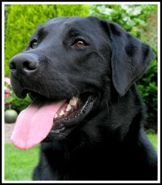 When it comes to choosing a puppy the Black Labrador is one of the cutest