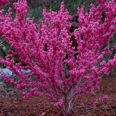 Don Egolf Chinese Redbud Tree - Cercis - Outdoors or Bonsai - Pot - Trees - Patio and Furniture Potted Trees, Flowering Trees, Trees And Shrubs, House Plants For Sale, Plants For Sale Online, Garden Trees, Garden Plants, Bonsai, Brande