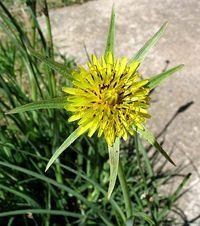 Salsifis des près - Le salsifis des près fait partie des plantes médicinales européennes, cette plante comestible est d'une grande efficacité pour soulager les douleurs rhumatismales. Le salsifis des près est bénéfique, par sa présence, il réduit l'acide urée responsable de la crise de goutte, de plus il... http://www.complements-alimentaires.co/wp-content/uploads/2014/12/Salsifis_des_pres_Tragopogon_pratensis.jpg - Par Nathalie sur Compléments aliment