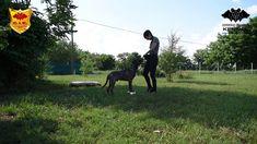Duncan Cerberus Illusion - Cimarron Uruguayo - Trick Dog - Paws Up on an...