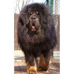 Good Tibetan Mastiff Chubby Adorable Dog - f45d8c4669d3c269000ff2f1bf914c5a  Snapshot_46266  .jpg