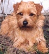 View from the front - A small breed, wiry looking, tan Norfolk Terrier dog is laying in grass and looking forward.