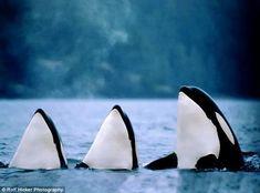 Orcas near Vancouver Island, British Columbia