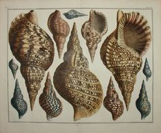Large print of 12 seashells