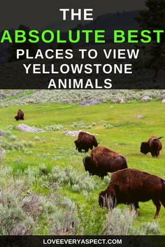 The Best Wildlife Viewing Places In Yellowstone Yellowstone National Park is without a doubt one of the best parks to hike, camp, and view wildlife. This guide will show you the best places to see Yellowstone animals to photograph. Yellowstone Camping, Yellowstone Vacation, Yellowstone National Park, National Parks, Visit Yellowstone, Yellowstone Campgrounds, Wyoming Vacation, Alaska Travel, Travel Usa