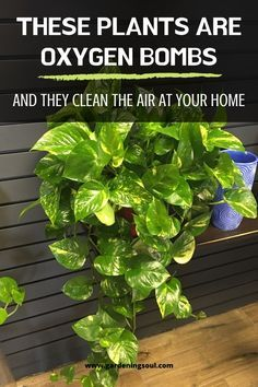 Are Oxygen Bombs And They Clean The Air At Your Home Here are the 10 most effective plants that cleanse the air from pollutants!Here are the 10 most effective plants that cleanse the air from pollutants! Container Gardening, Gardening Tips, Indoor Gardening, Organic Gardening, Dulux Valentine, Best Indoor Plants, Indoor Plants Clean Air, Inside Plants, Plantation
